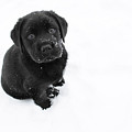 Puppy In The Snow by Larry Marshall