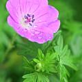 Purple Geranium Flower by Neil Overy