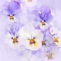 Purple Pansies by Elena Elisseeva