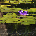 Purple Water Lilly Distortion by Teresa Mucha