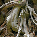 Quinault Valley Olympic Peninsula Wa - Exposed Root Structure Of A Giant Tree by Christine Till