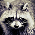Raccoon Looking At Camera by Isabelle Lafrance Photography