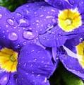Raindrops On Blue Flowers by Carol Groenen
