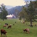 Rainy Day Longhorns by Cindy Gacha