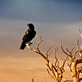 Raven On Sunlit Tree Branches, Grand Canyon by Trina Dopp Photography