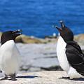 Razorbills Calling On Island by John Burk