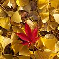 Red Autumn Leaf by Garry Gay
