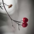 Red Berries Print by Mandy Tabatt