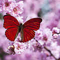 Red Butterfly On Plum  Blossom Branch by Garry Gay