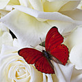 Red Butterfly On White Roses by Garry Gay