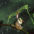 Red-eyed Tree Frog In The Rain by Michael Durham