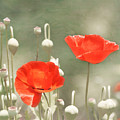 Red Poppies by Kim Hojnacki