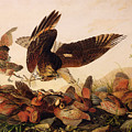 Red Shouldered Hawk Attacking Bobwhite Partridge by John James Audubon