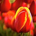 Red Tulip by Tamyra Ayles