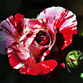Red Verigated Rose by Clayton Bruster