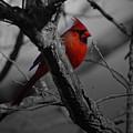 Redbird by Shawn Wood