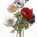 Redoute: Anemone, 1833 by Granger