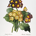 Redoute: Auricula, 1833 by Granger