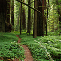 Redwood Forest Path by Melany Sarafis