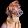 Rhodesian Ridgeback by Julie L Hoddinott