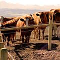 Rockies Cattle Country by Al Bourassa