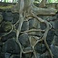 Roots And Rocks by Douglas Barnett