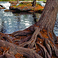Roots on the River Print by Stephen Anderson
