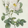 Rosa Alba Foliacea by Pierre Joseph Redoute