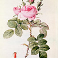 Rosa Bifera Officinalis by Pierre Joseph Redoute