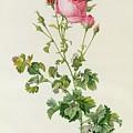 Rosa Centifolia Bipinnata by Pierre Joseph Redoute