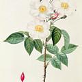 Rosa Damascena Subalba by Pierre Joseph Redoute