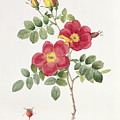 Rosa Eglantera Punicea by Pierre Joseph Redoute