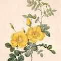 Rosa Eglanteria by Pierre Joseph Redoute