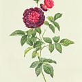 Rosa Gallica Gueriniana by Pierre Joseph Redoute