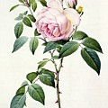 Rosa Indica Fragrans by Pierre Joseph Redoute