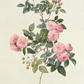 Rosa Multiflora Carnea by Pierre Joseph Redoute