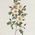 Rosa Pimpinelli Folia Inermis by Pierre Joseph Redoute