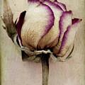 Rose 2 by Marion Galt