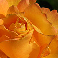 Rose In Ruffles by Mg Blackstock