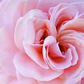 Rose Spiral art Pink Roses Floral Baslee Troutman