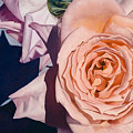 Rose Splendour by Kerryn Madsen-Pietsch