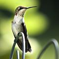 Ruby-throated Hummingbird by Christina Rollo