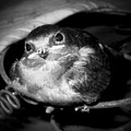 Rusted Perch - Baby Barn Swallow  by Christena  Stephens