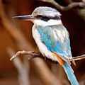 Sacred Kingfisher by Mike  Dawson
