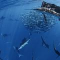 Sailfish Drive Their Prey by Paul Nicklen