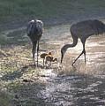 Sandhill Crane Family In Morning Sunshine by Carol Groenen