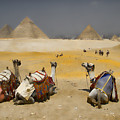 Scenic View Of The Giza Pyramids With Sitting Camels by David Smith