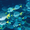 School Of Surgeonfish Cruising Reef by James Forte