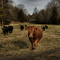 Scotopic Vision 9 - Cows Come Home by Pete Hellmann