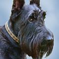 Scottish Terrier Dog by Jennie Marie Schell